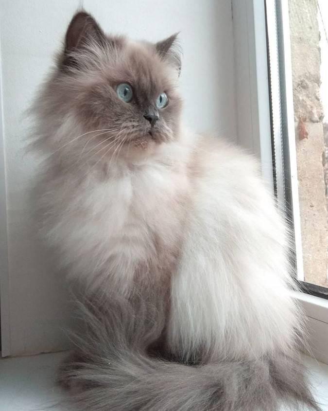 Cиамская кошка: описание породы-20 фото, стоимость котенка