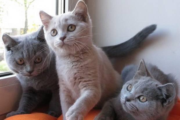 ᐉ лучшая порода кошек для квартиры – какого кота завести? - zoomanji.ru