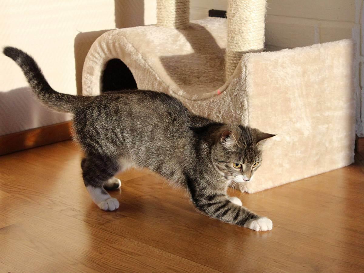 ᐉ какие породы кошек живут дольше всех? - zoomanji.ru