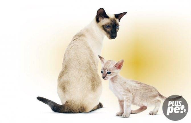 Сиамская кошка — описание породы и характера