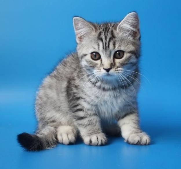 Порода кота из рекламы: вискас, феликс, гурме голд, китекат и шеба
