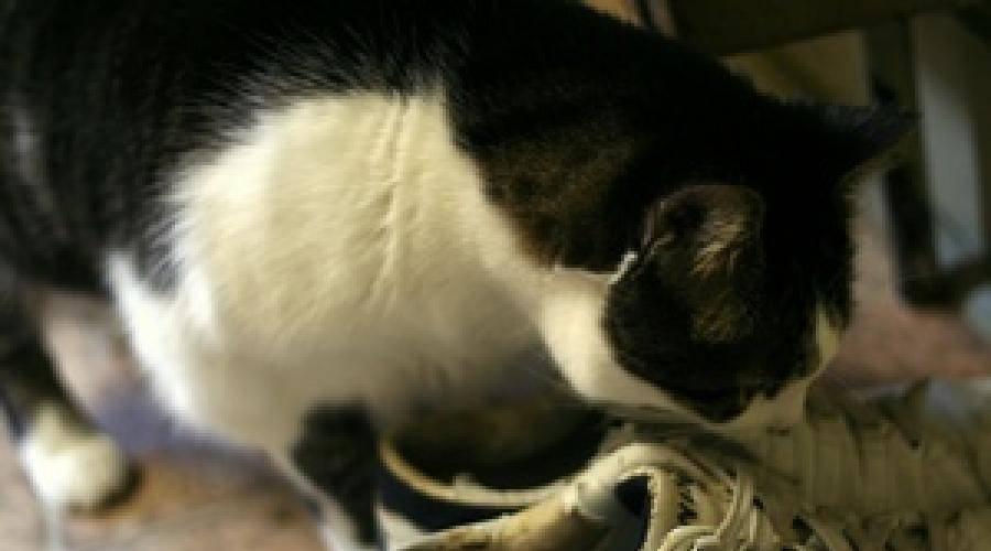 У кота моча пахнет аммиаком: что делать, причины