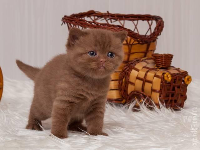 Британская вислоухая: кошка, которой нет