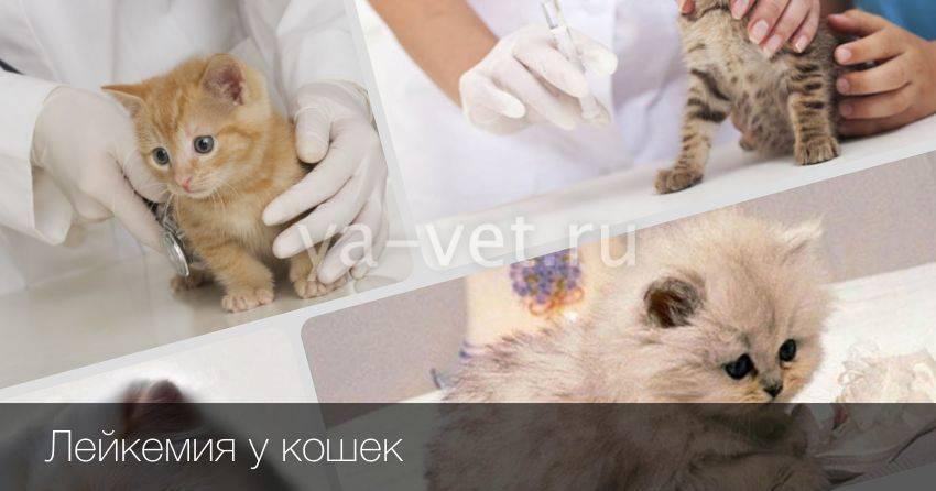 Вирусная лейкемия у кошек симптомы: читаем во всех подробностях