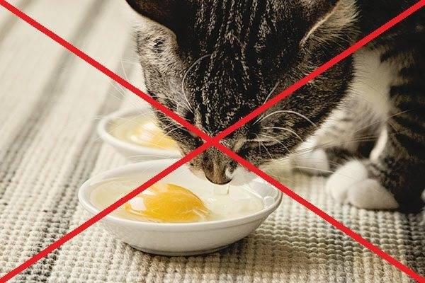 Можно ли котам есть яйца. можно ли котам давать яйца (сырые и вареные)? что полезнее: вареный или сырой продукт для киски