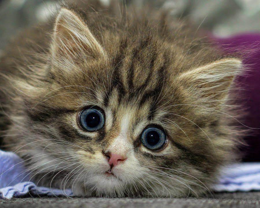 Когда у котят режутся зубки что делать. у котенка чешутся зубы