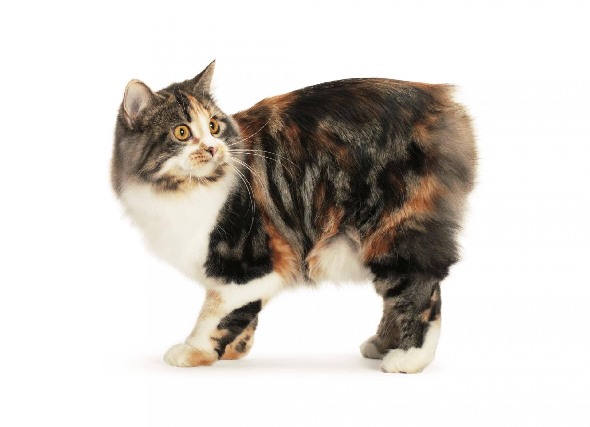 Кимрик кошка. описание, особенности, цена и уход за породой кимрик | животный мир