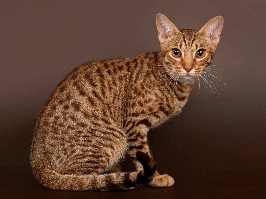 Пятнистые кошки: породы
