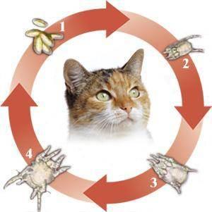 Как вылечить ухо кошке народными средствами