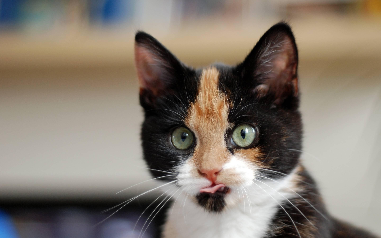 Трехцветная кошка - вся правда об их генах, характере и поведении!   caticat.ru