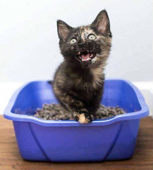 Запор у котенка или кошки
