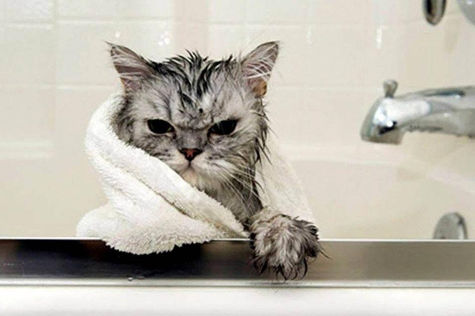 Как помыть кота – пошаговая инструкция как просто и быстро отмыть кота своими руками (85 фото)