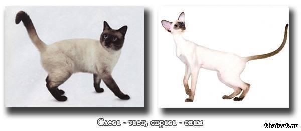 Сиамская кошка. все о породе и характере от эксперта по кошкам