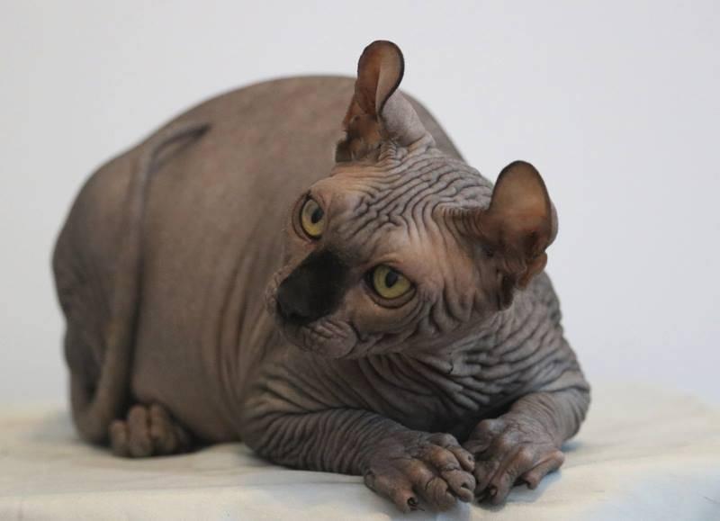 Кошка эльф: описание породы, фото, купить котенка и его цена
