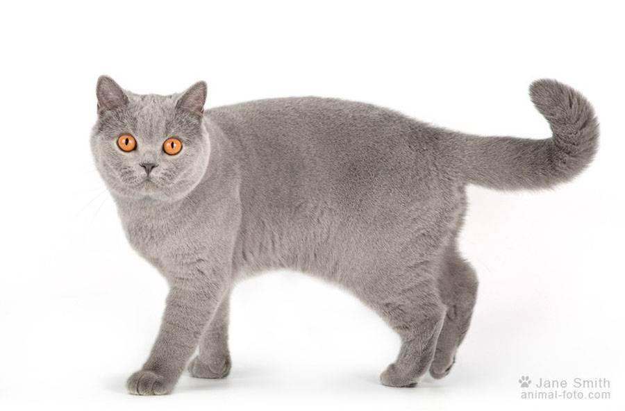 Чем отличаются британские кошки от шотландских? описание пород
