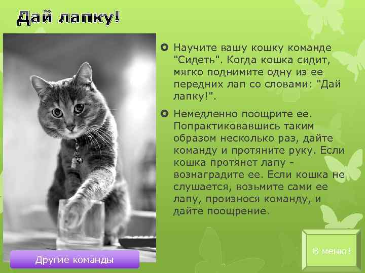 Учим британского кота сидеть на руках: основные способы