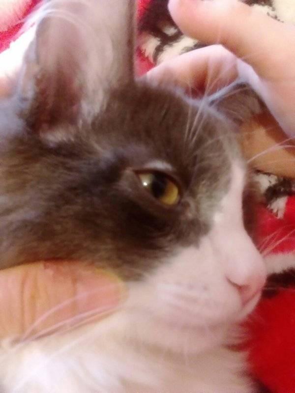 Облысение у кошек: причины лечение