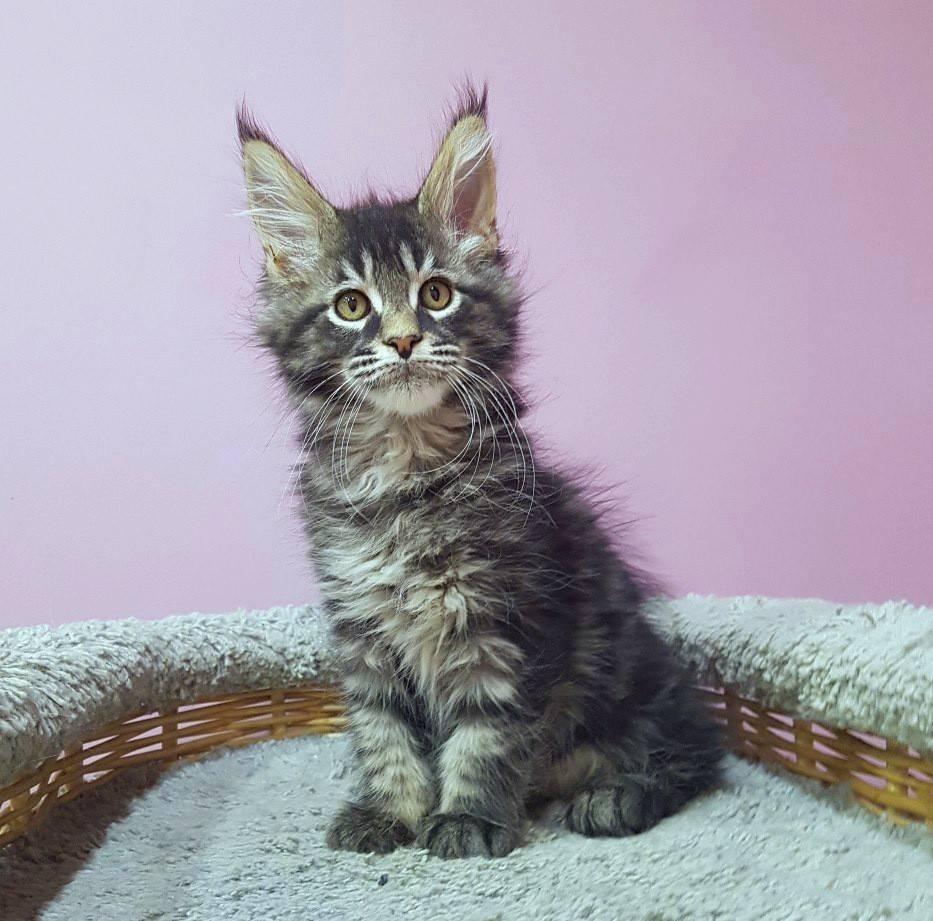 Чем кормить котенка мейн-куна – правильный рацион, рекомендации