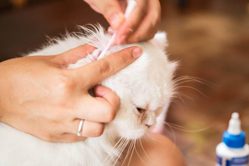 Как чистить уши котенку и какие средства использовать как чистить уши котенку и какие средства использовать