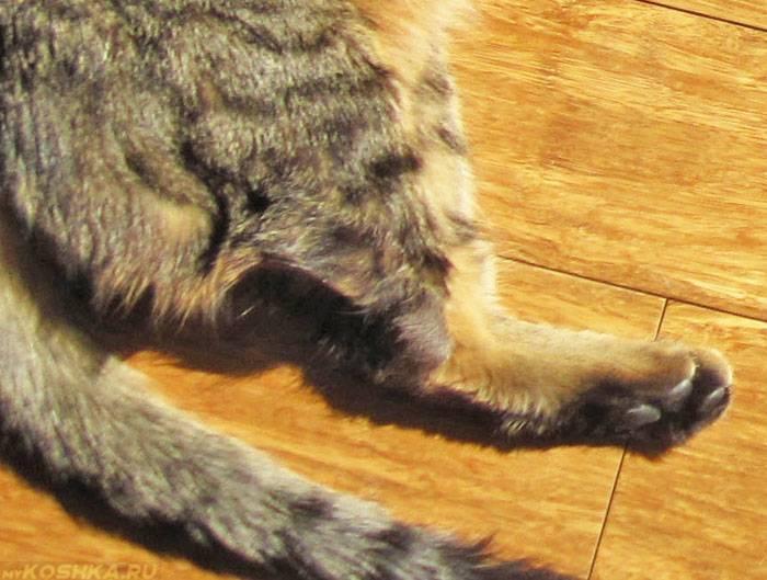 Как определить перелом лапы у кошки: лечение в домашних условиях