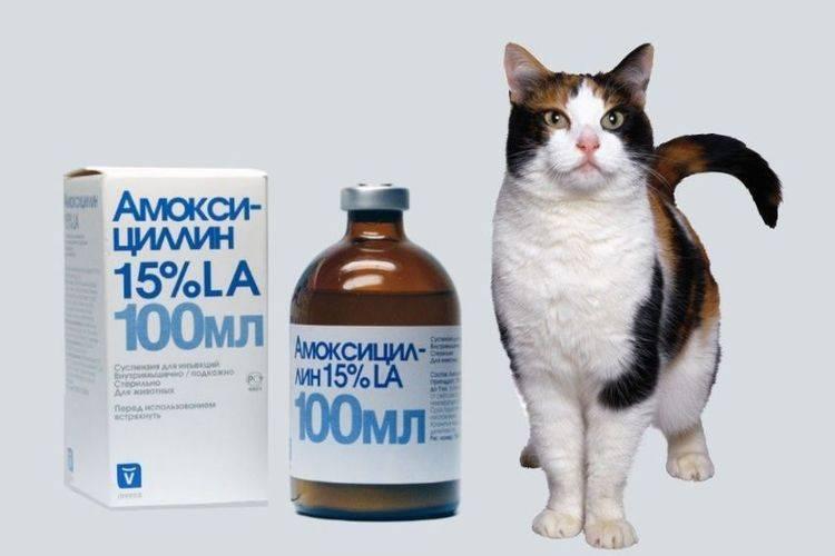 Цистит у кота: симптомы и лечение кошек в домашних условиях
