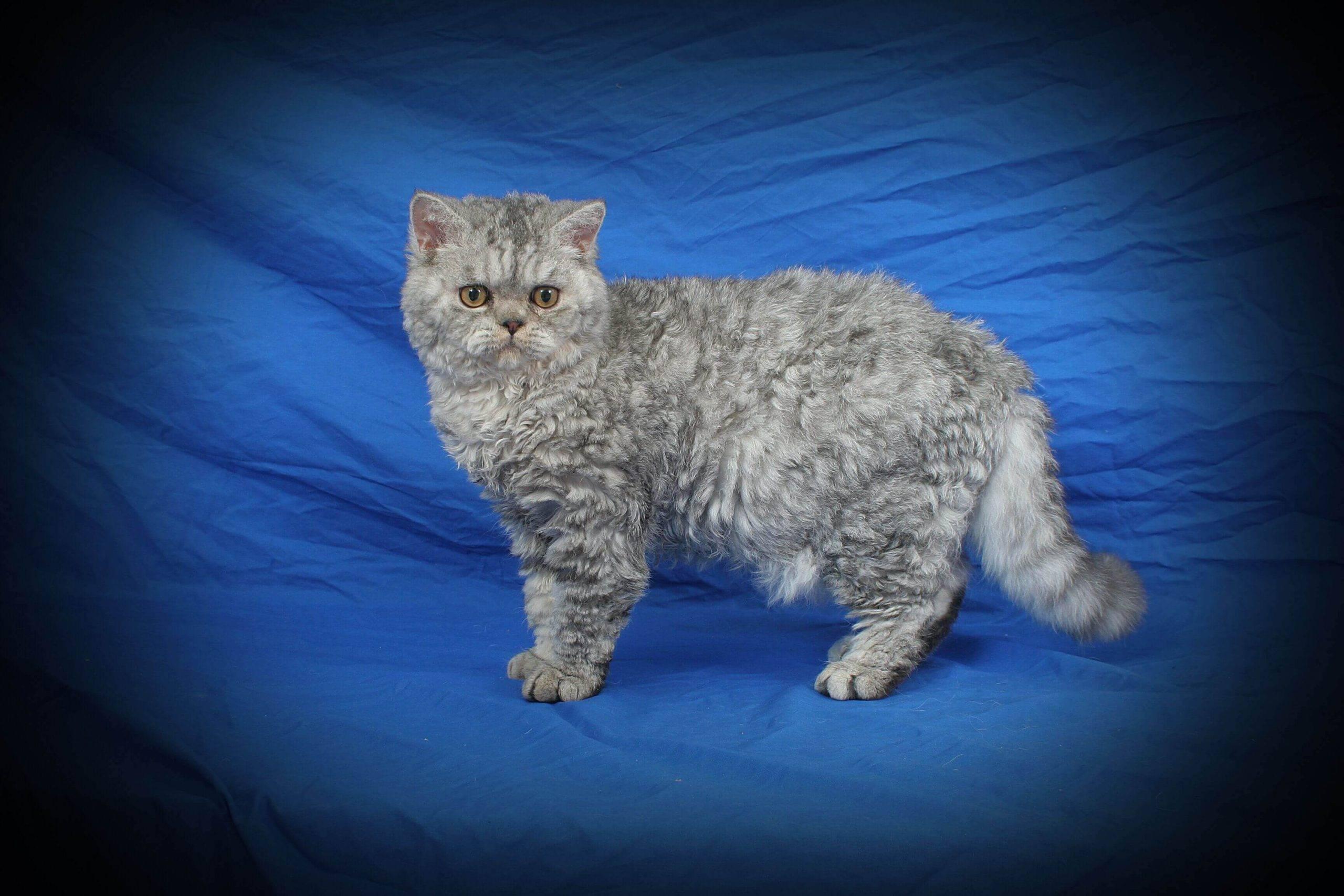Уральский рекс кошка: подробное описание, фото, купить, видео, цена, содержание дома