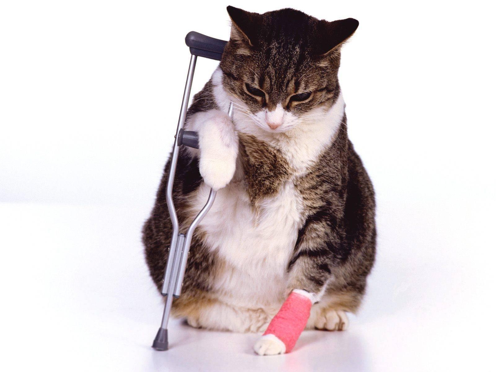 У кошки болит лапа