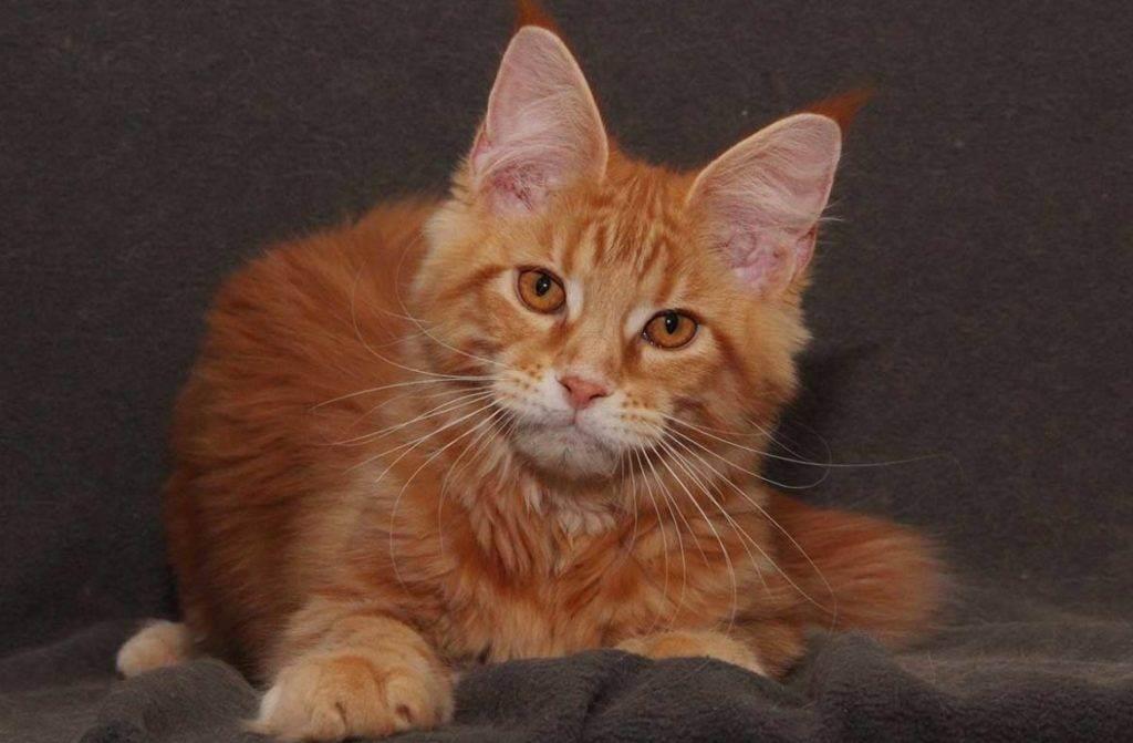 ᐉ породы рыжих котов: 11 самых красивых, их описание и особенности ухода - kcc-zoo.ru