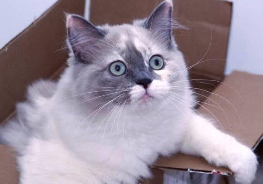 Особенности характера, содержания и ухода за кошками породы рагамаффин