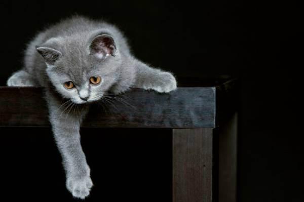 Чем британские котята отличаются от обычных: внешность, черты характера и другие параметры