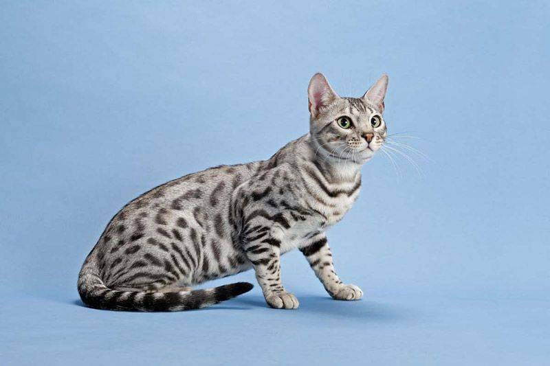 Серенгети: порода кошек с необычной внешностью, фото и описание экстерьера и характера