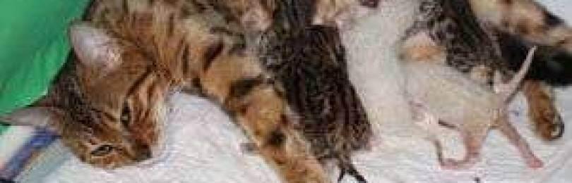 Эклампсия у кошек: послеродовая и во время беременности