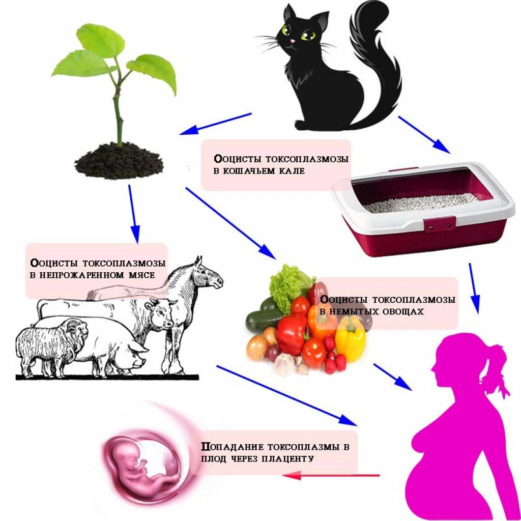 Прививки котятам от токсоплазмоза