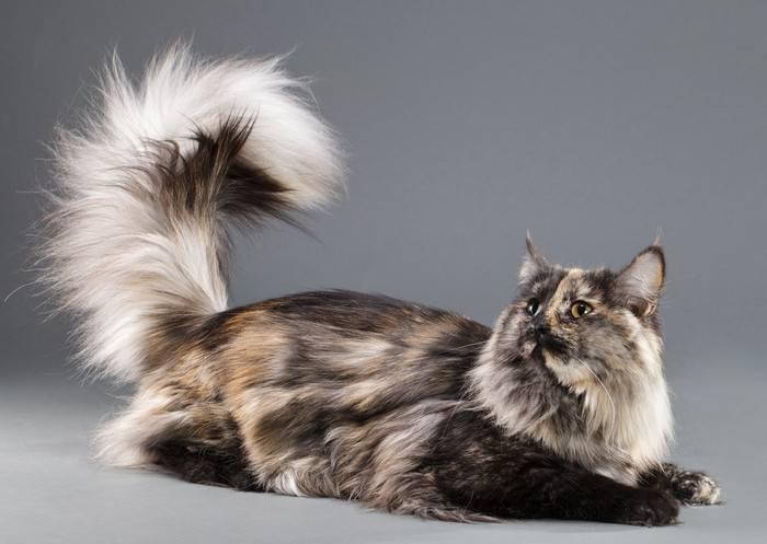 Норвежская лесная – национальная кошка норвегии