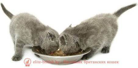 Что можно британским котятам. чем кормить британских котят? чем нельзя кормить британских котят