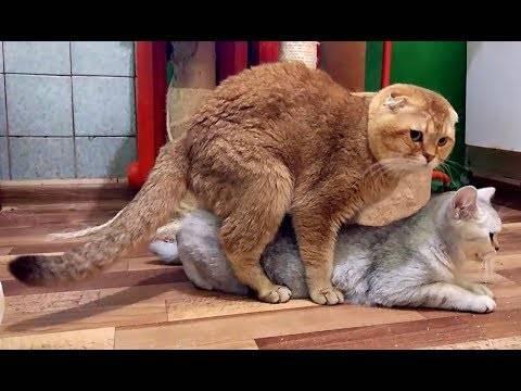 Почему кошка не катается после спаривания. вязка в домашних условиях. как ведет себя кошка после вязки