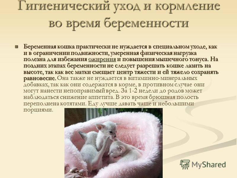 Может ли кошка без течки забеременеть: доводы ветеринаров