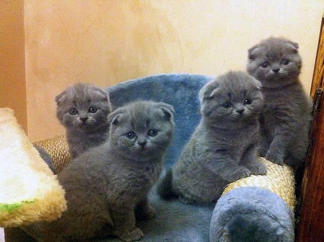Признаки шотландской кошки: как отличить шотландского котенка?