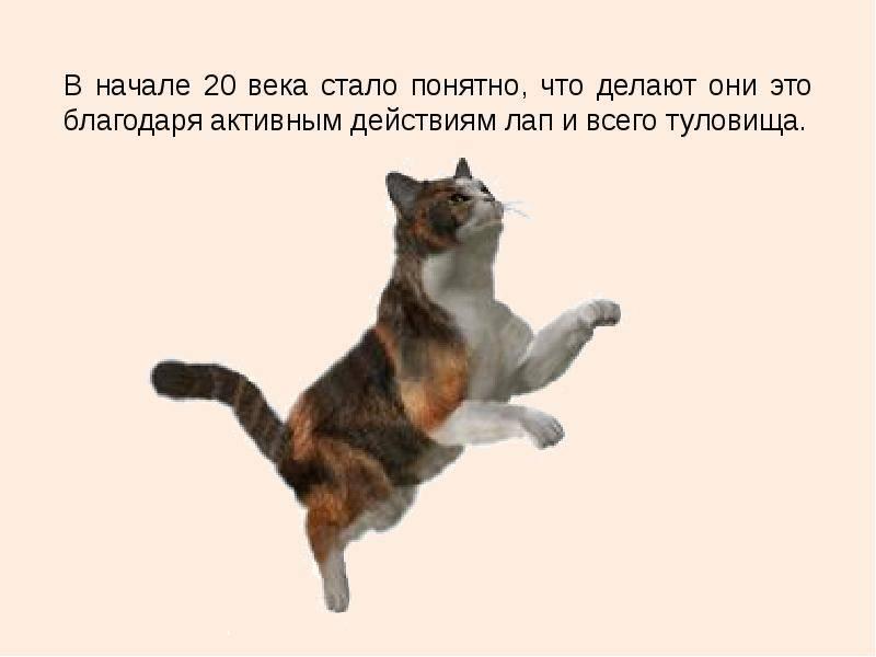 Почему кошки приземляются на 4 лапы: научное объяснение