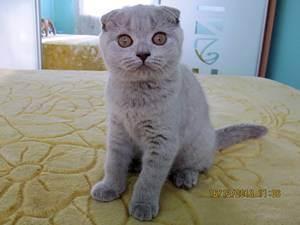 Чем кормить шотландского вислоухого котенка