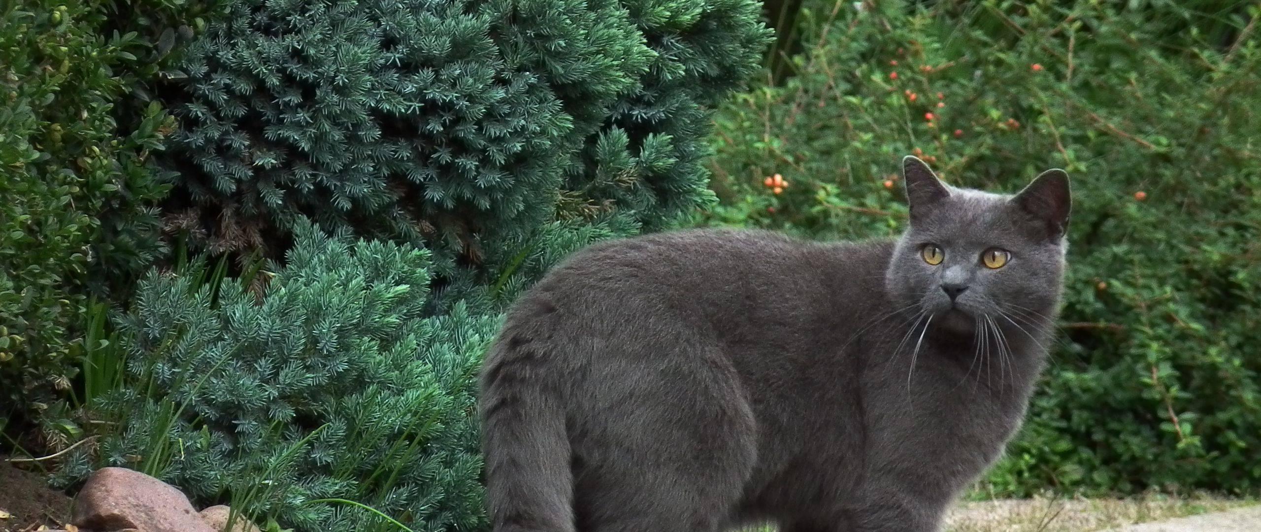 Описание и образ жизни кошек картезианской породы (шартрез)