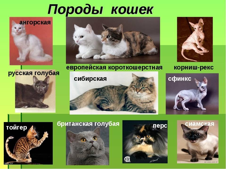 Самые дорогие породы кошек: топ 10, причины высокой цены