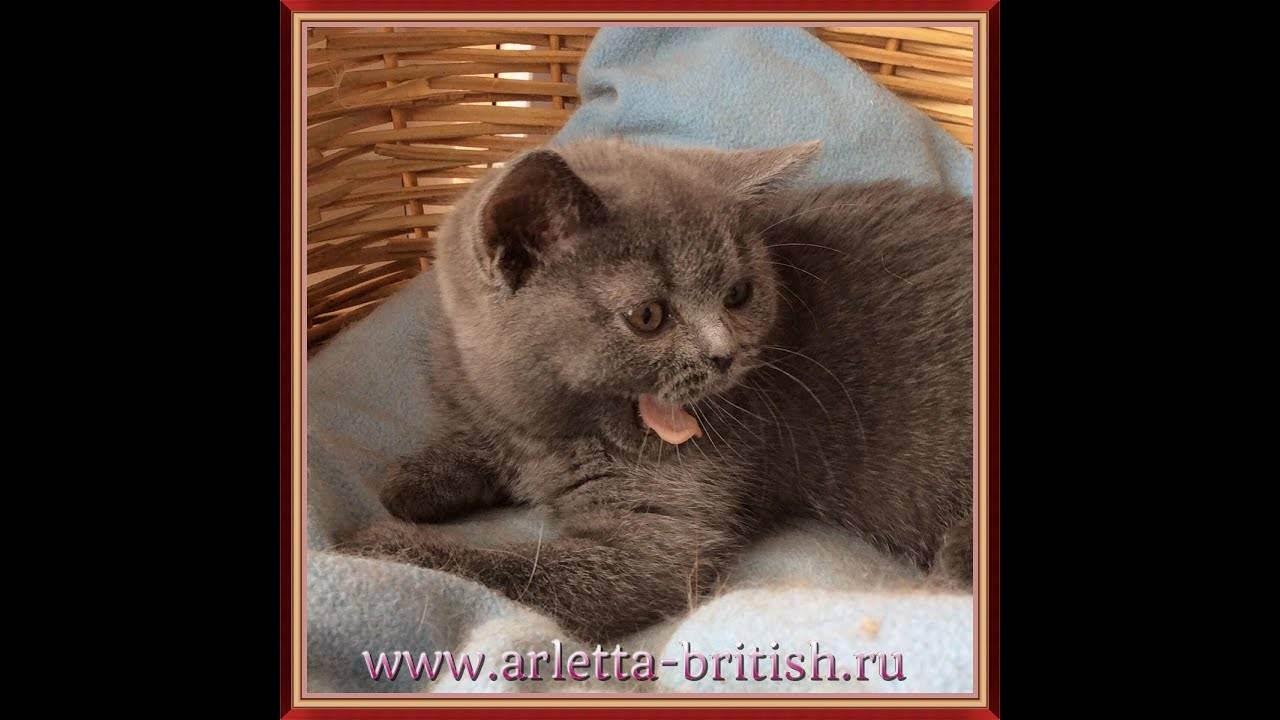 Питомники британских кошек