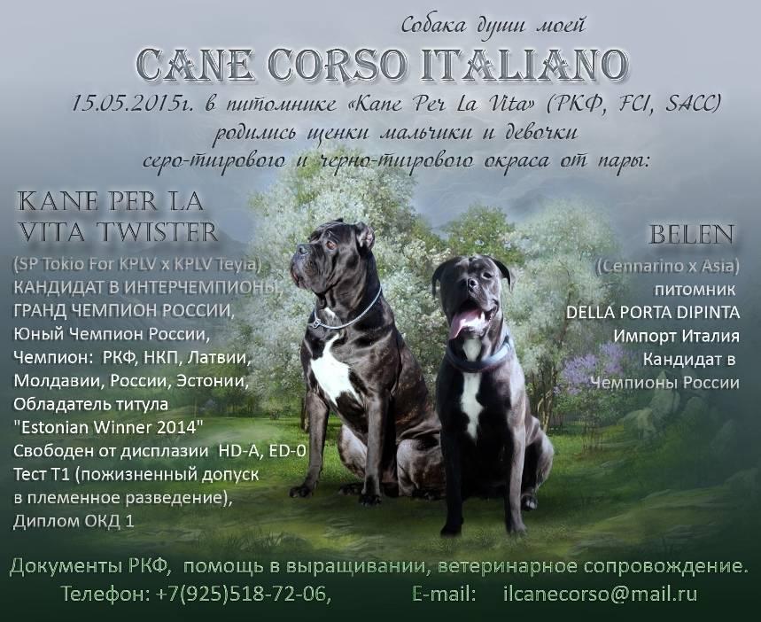 Самобытный пес из италии – кане-корсо