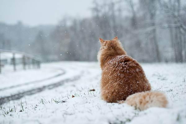 Коты и кошки зимой. при какой температуре кошки могут жить на улице: какие породы не переносят холода красивые коты зимой
