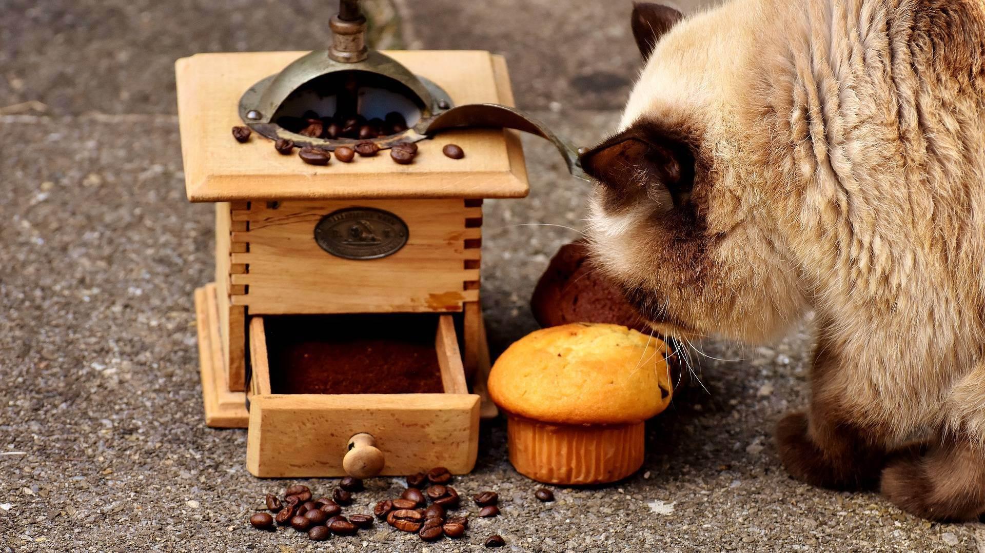 Можно ли кошкам и котам сладкое, шоколад?