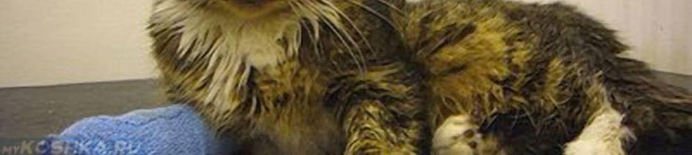 Чумка у кошек (панлейкопения)