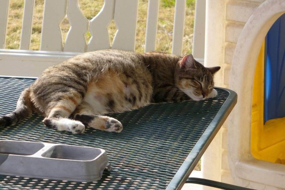 Беременная кошка - что важно знать