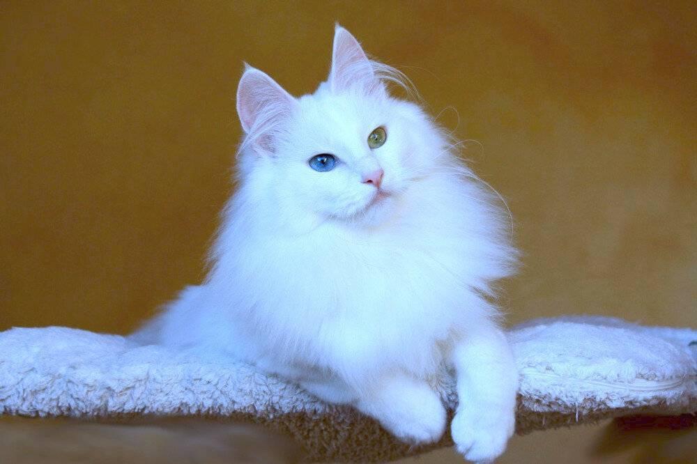 Ангорская кошка: фото турецкой ангоры, описание породы и характера, повадки и характеристики