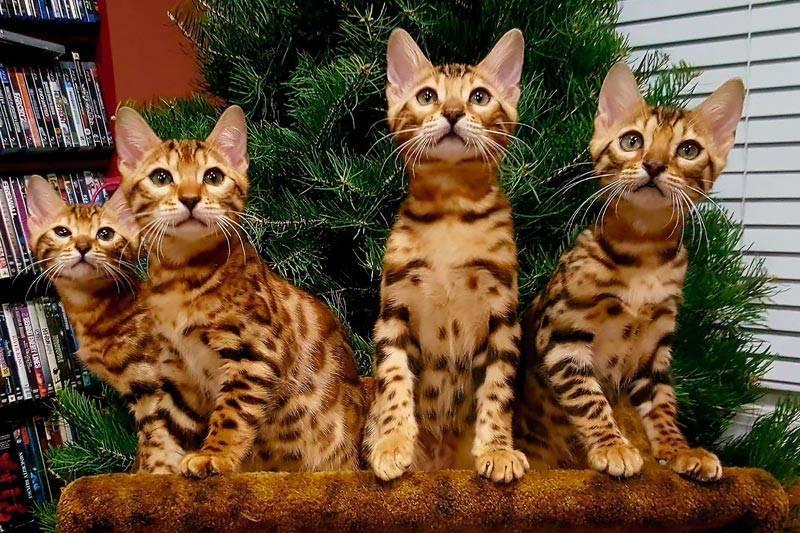 Бенгальская кошка (prionailurus bengalensis): характер, внешний вид, уход, здоровье + 100 фото бенгалов с красивым окрасом